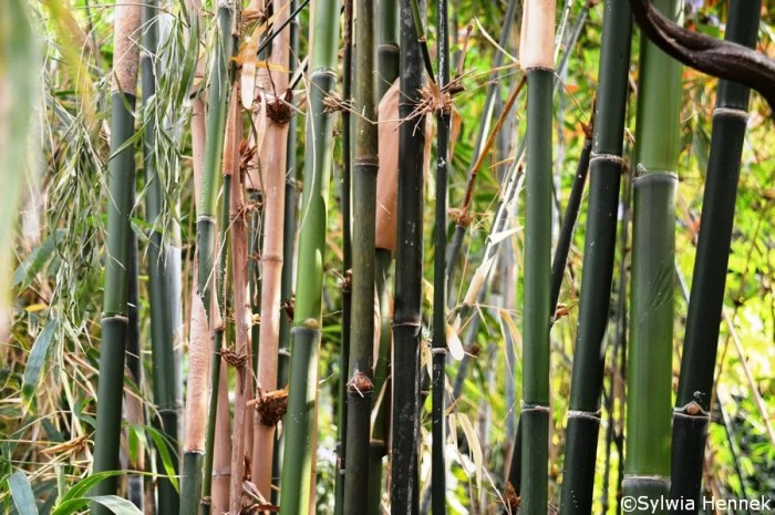 Bambus syjamski - Thyrsostachys siamensis