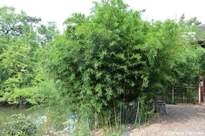 Bambus Bisseta - Phyllostachys bissetii