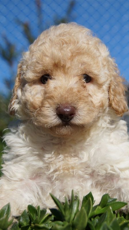 Banksia Park Puppies Moodle