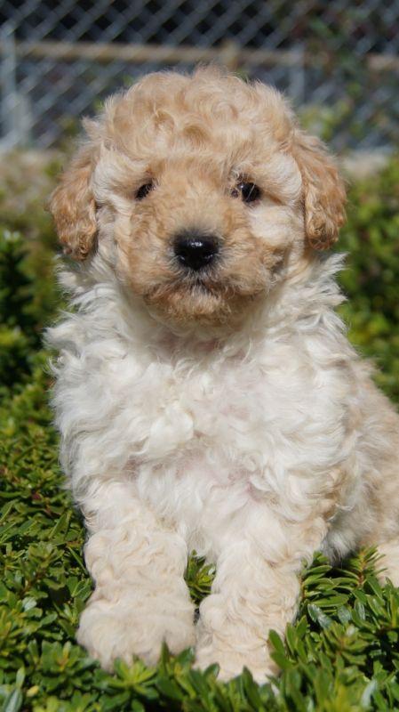 Banksia Park Puppies Scnoodle