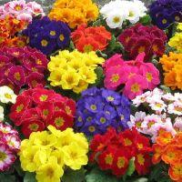 Primula_színes