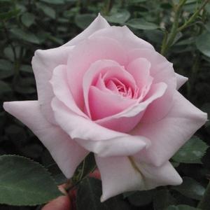 Felberg's Rosa D.
