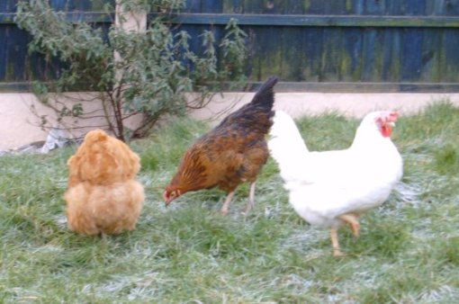 The first three chickens we owned. The whole world knew when our Buff Orpington jumped down from her perch.
