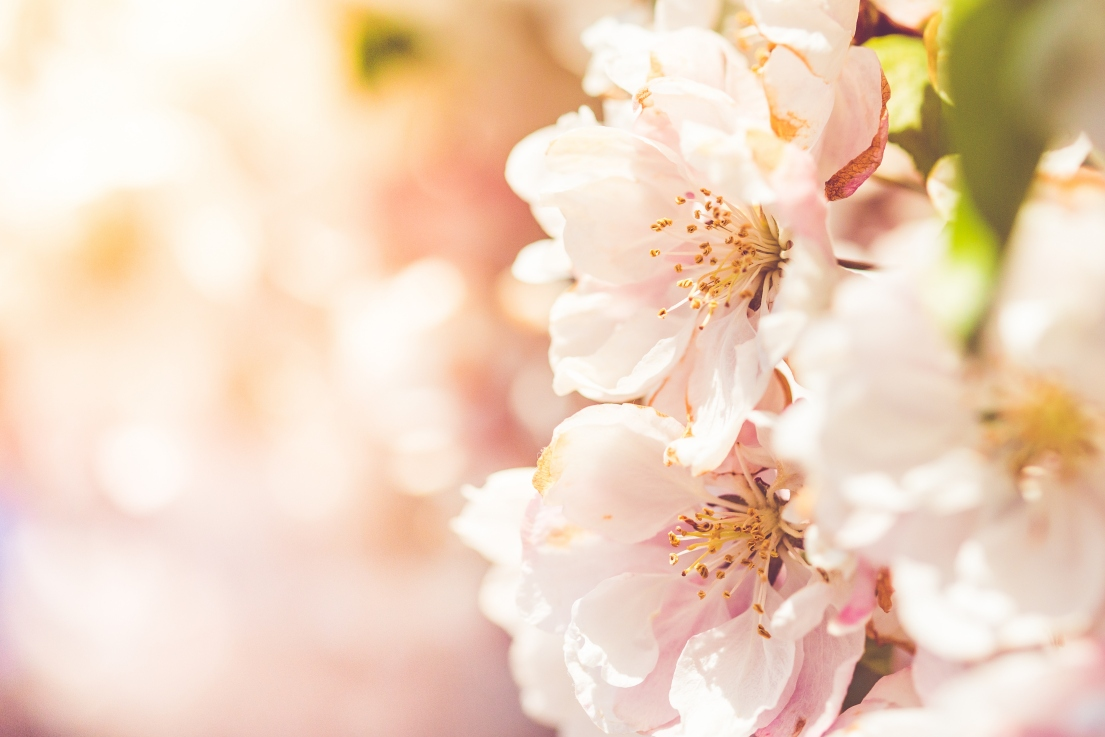 Wonderful-spring-blooms-picjumbo-com2