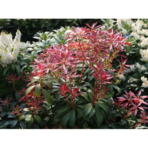 Medium Crop Of Mountain Fire Pieris