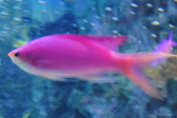 Pink fish poisson rose tokyo aquarium blog mode tendance for Pink fish tank