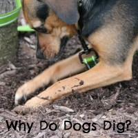Under the Earth - Why Do Dogs Dig?