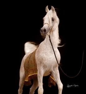 Soudan Al Badi (Makhnificent KA x Shwaya).  Egyptian Event Top 10