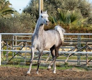 Nahid Al Qusar - Sired by Nebras out of a Teymur B daughter located in Europe