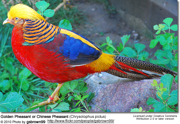Golden Pheasants or Chinese Pheasants  aka Red Golden Pheasant     Golden Pheasants or Chinese Pheasants  aka Red Golden Pheasant