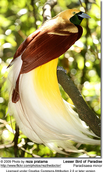 Lesser Bird of Paradise   Beauty of Birds Lesser Bird of Paradise
