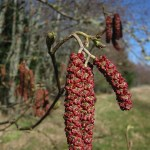 Native Plant of the Month: Red Alder
