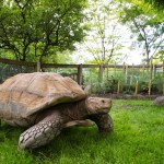 Zoo News is Good News: African Spurred Tortoises
