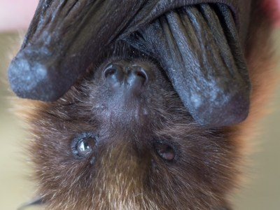 Zoo News is Good News: Zookeepers, Vets Rally To Save Life Of Rare Baby Fruit Bat