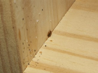 bed bug, eggs and fecal droppings in drawer