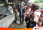 Eduwisata Sitiadi, Melihat Cara Beternak Sapi Hebat di Kebumen