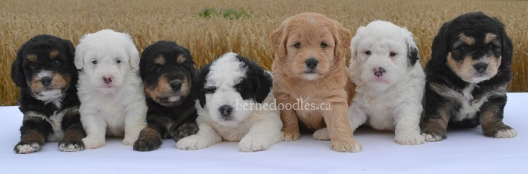 Hypoallergenic Dogs For Sale Calgary