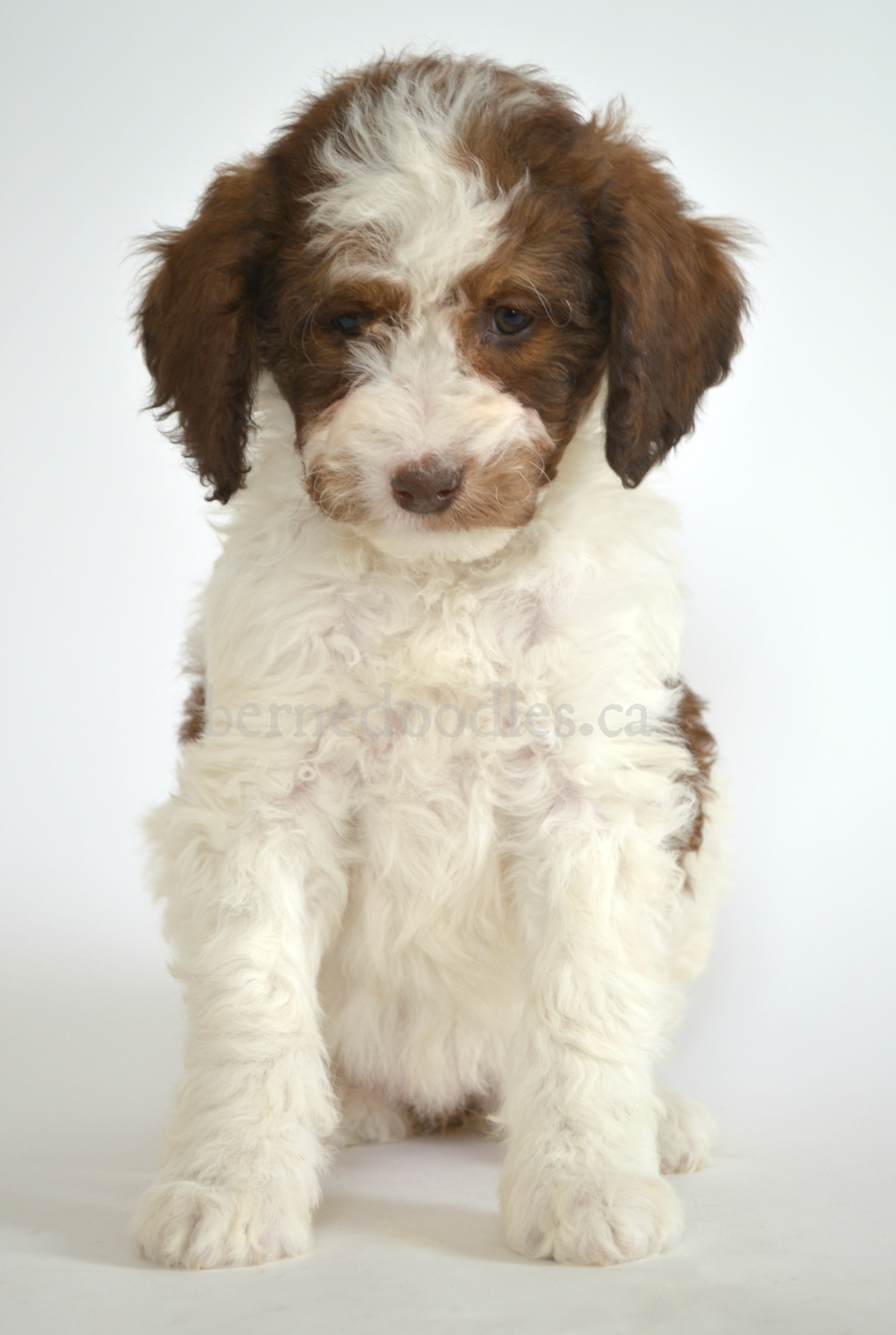 Dogs For Sale Burlington Ontario