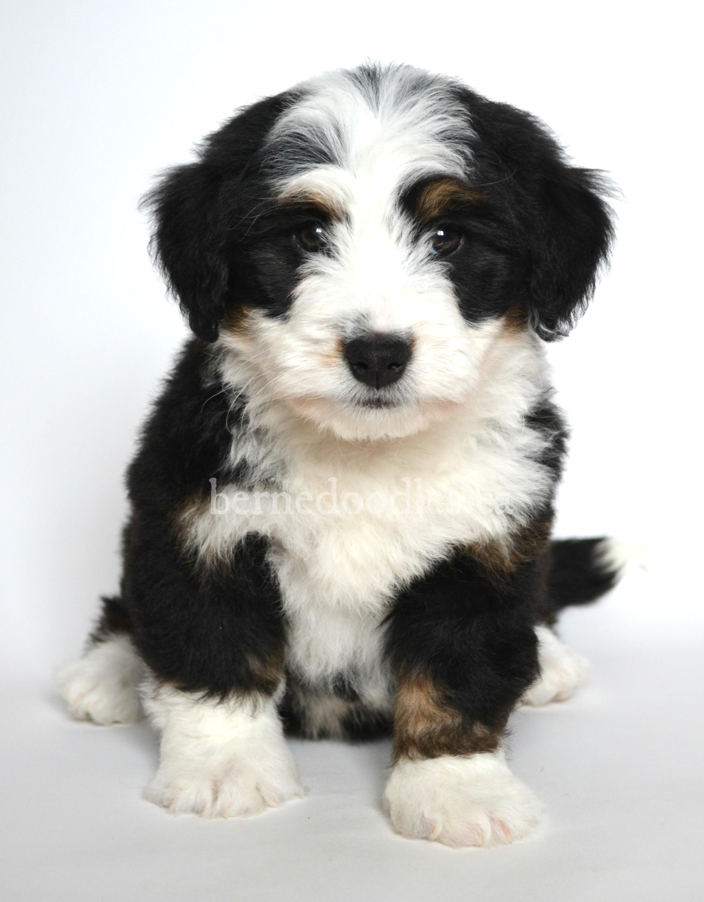 Dog Breeder Oakville Ontario