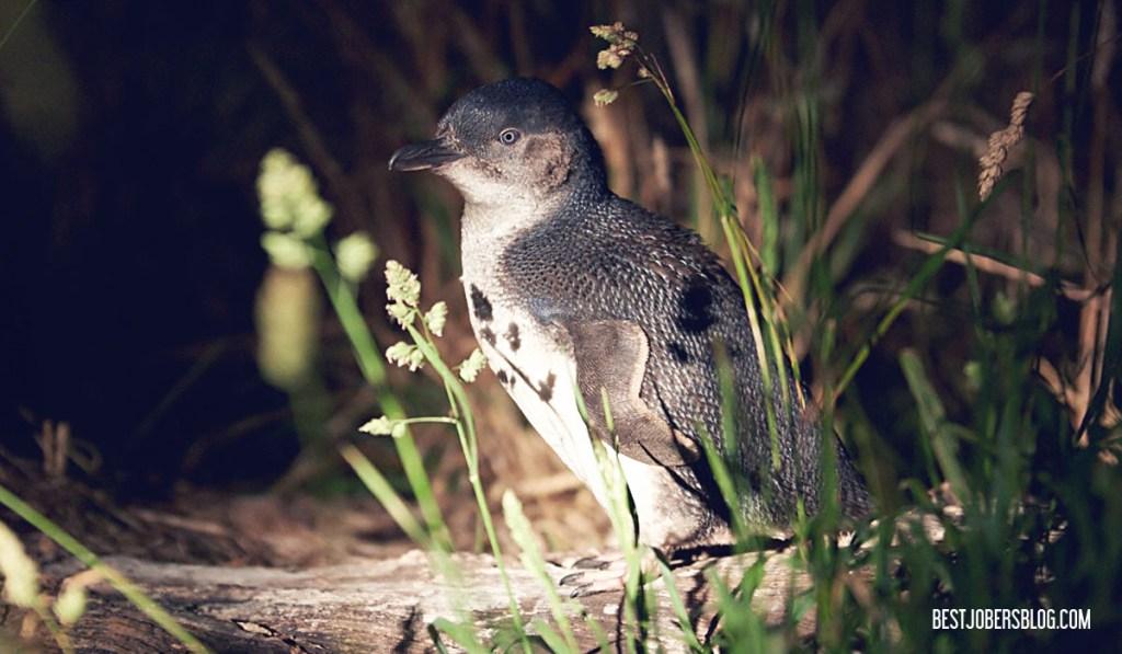Bicheno Penguin