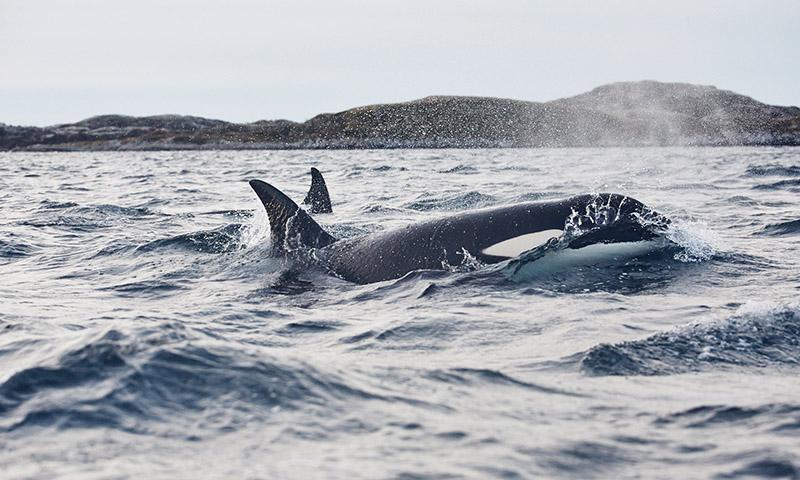 ou voir les orque en norvege