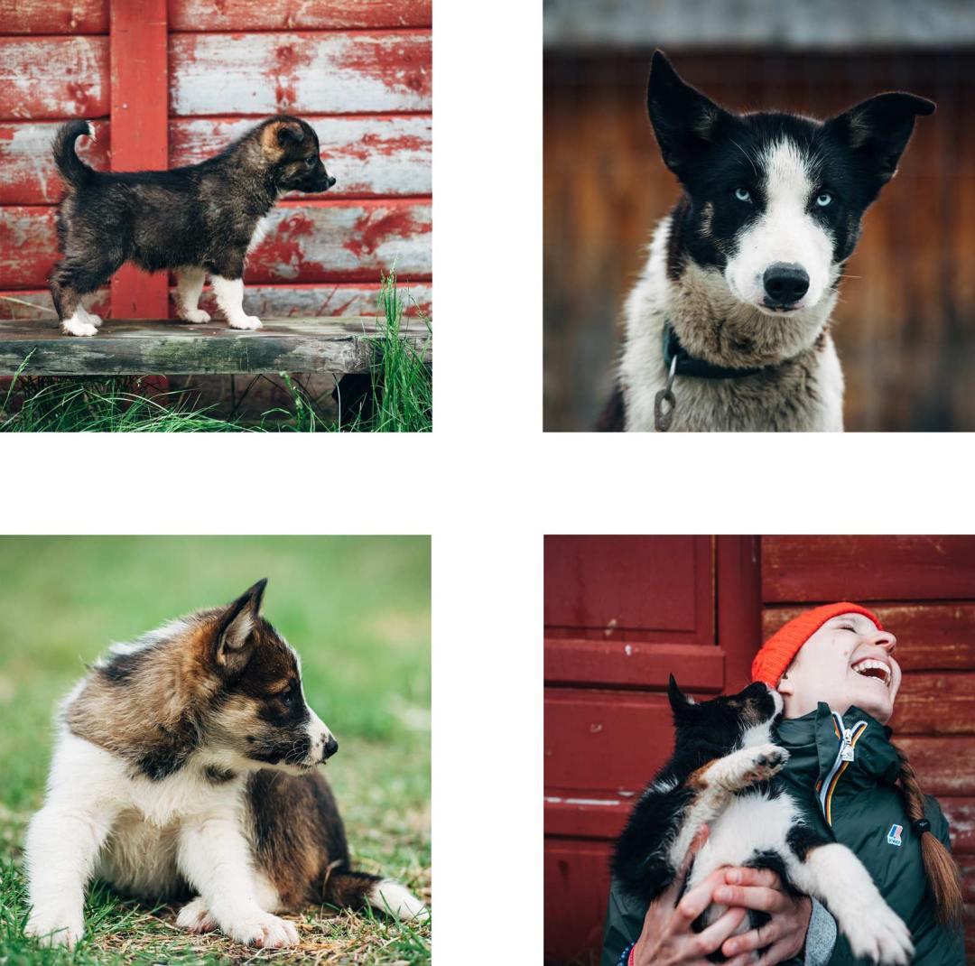 huskies norvege chien de traineau