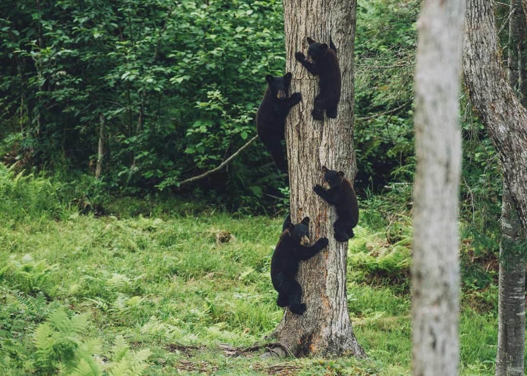 voir des oursons au canada