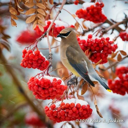 Web Cedar Waxwing On Berries Jan9
