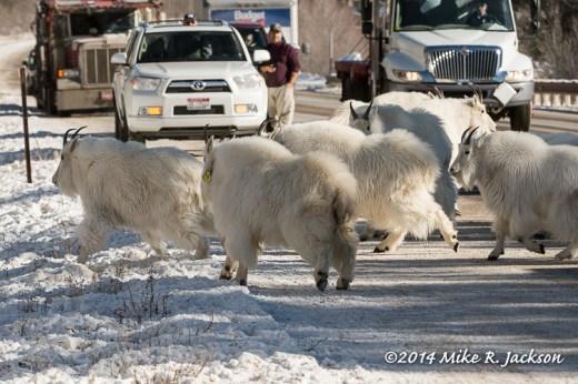 Web Goats On Road Dec12