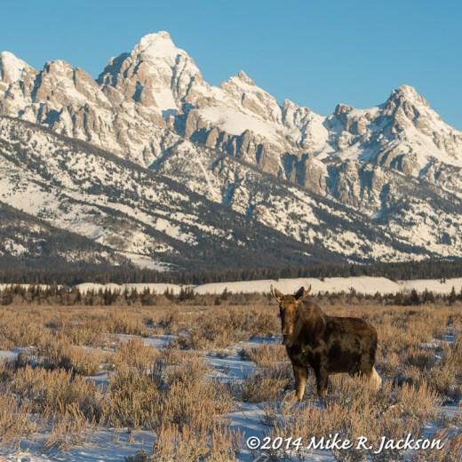 Web Little Bull Moose Jan18