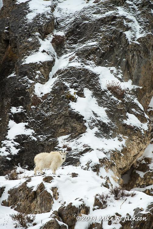 Web Mtn Goat On Ledge Jan11