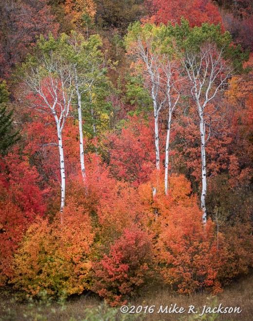 Canyon Maple