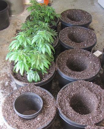 Repotting Cannabis plants