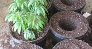 Re-potting your Cannabis plant