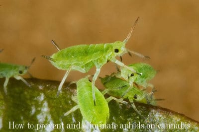 How to prevent and eliminate aphids on cannabis