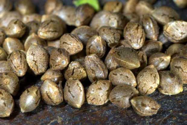 The best way to germinate cannabis seeds