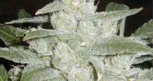 wpid-white-widow-medical-marijuana1.jpg