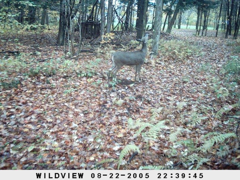 Game cam deer