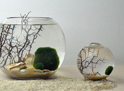 Moss ball terrarium