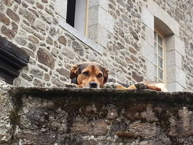 Photograph of a dog looking over an old wall, Dinan, Brittany, France.