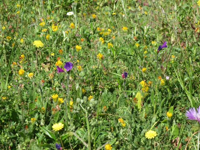 Photograph of colourful spring flowers in the Algarve countryside