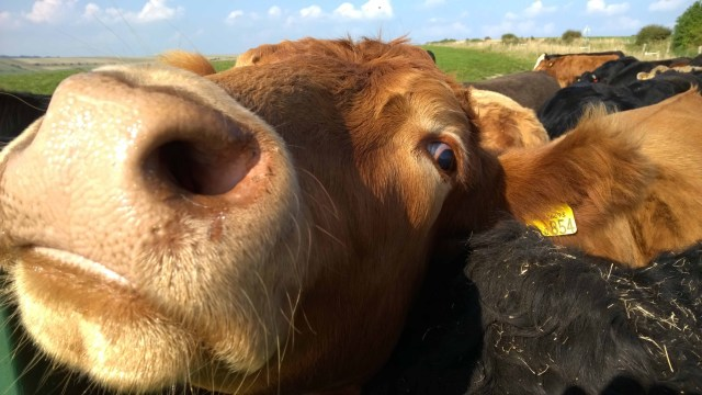 Looking down the nose of a beautiful cow