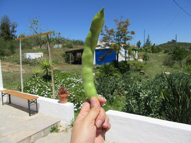 Photo of a hand holding a large broad bean pod