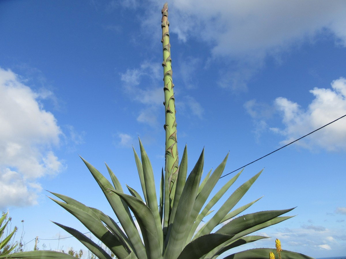 Photo of agave cactus with flower stem