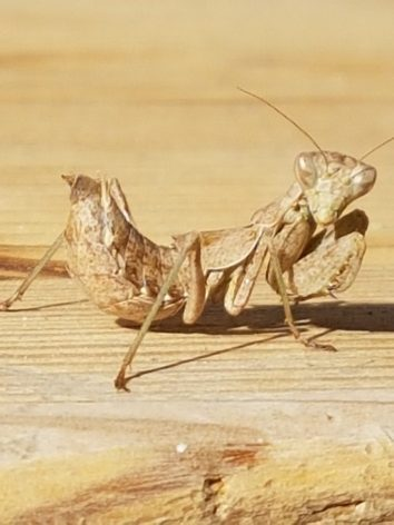 A picture of a mantis on the table rather than one of a blood splatted floor