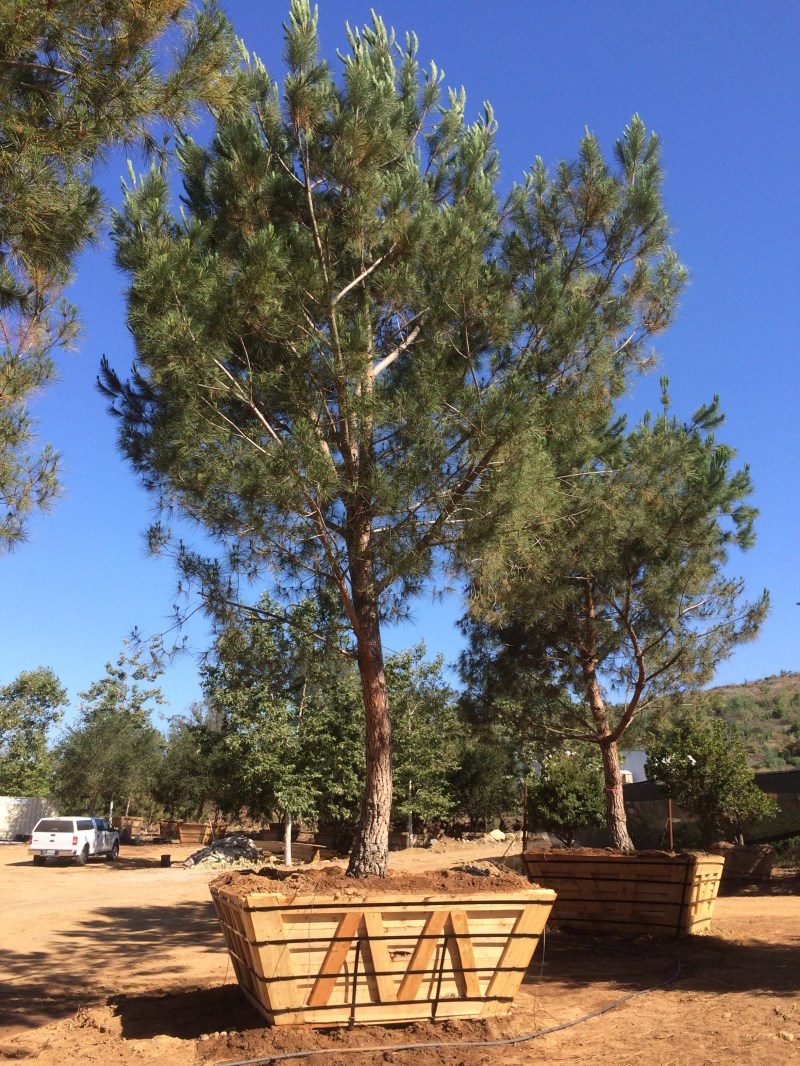 Large Of Italian Stone Pine
