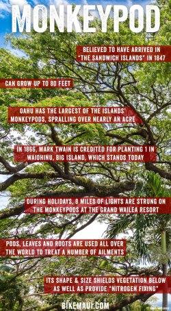 Small Of Monkey Pod Tree