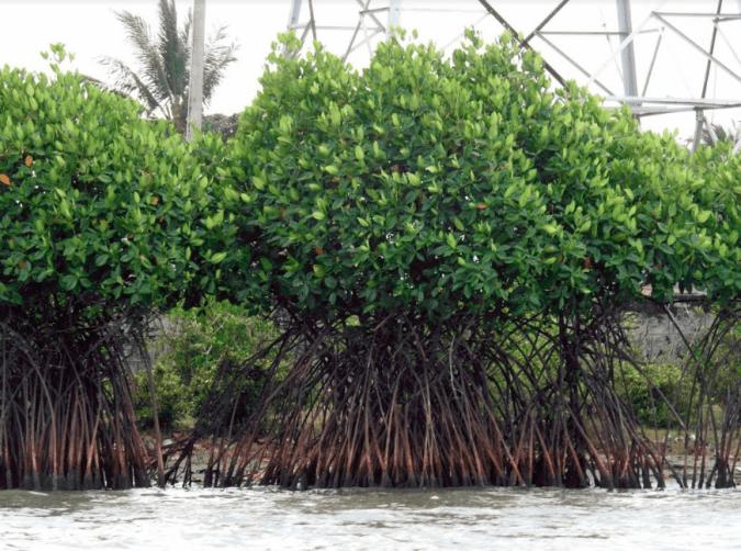 The dense Pichavaram Mangroves