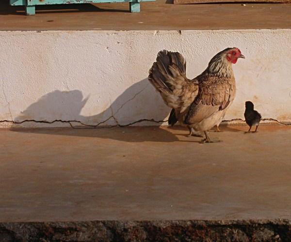 hen_shadow