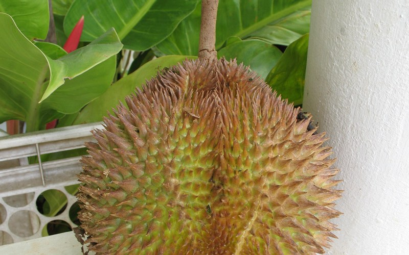 durian_alone